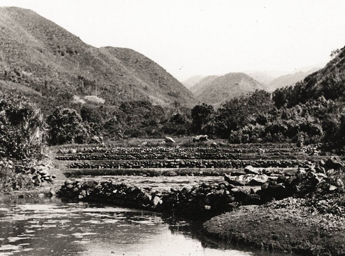 historical photo of taro terraces